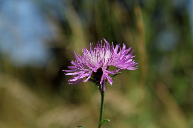 The bloom of the invasive species knapweed, belonging to the genus Centaurea