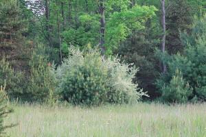 Autumn Olive crowding out native vegetation.