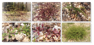 Various views of barberry to aid in spotting it on your property.